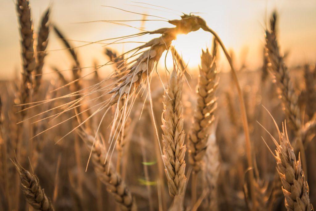 Weizenähre auf einem Feld